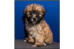 Picture of Visit ABCpuppy.com for details Puppy ID 941
