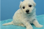 Picture of maltipoo 1126