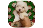Picture of Visit ABCpuppy.com for details Puppy ID 995