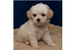 Picture of Visit ABCpuppy.com for details Puppy ID 897