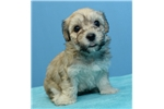 Picture of maltipoo 1123