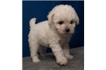 Picture of Visit ABCpuppy.com for details Puppy ID 895