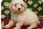 Picture of Visit ABCpuppy.com for details Puppy ID 1001