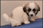Picture of Visit ABCpuppy.com for details Puppy ID 903