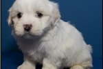 Picture of Visit ABCpuppy.com for details Puppy ID 862