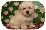 Picture of Visit ABCpuppy.com for details Puppy ID 983