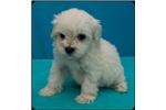 Chi-Poo - Chipoo for sale