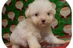 Picture of Visit ABCpuppy.com for details Puppy ID 997