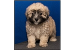 Picture of Visit ABCpuppy.com for details Puppy ID 943