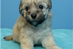 Picture of maltipoo 1124