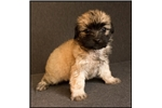 Picture of Malshi-poo puppy (Mom Shihpoo and Dad Maltese) 942