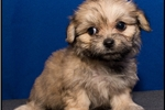 Picture of Malshi-poo puppy (Mom Shihpoo and Dad Maltese) 940