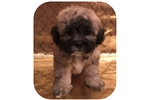 Picture of Visit ABCpuppy.com for details Puppy ID 1005