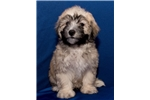 Picture of Visit ABCpuppy.com Malshipoo ID 943