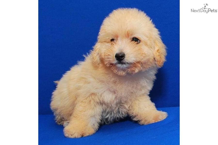 wwwcspuppiescom-apricot-maltipoo-puppydog-malti-poo-maltipoo-puppy ...