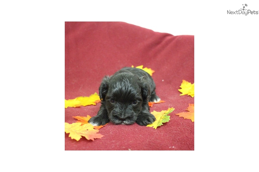 Morkie Puppies For Sale Iowa >> Stormy: Morkie / Yorktese puppy for sale near Sioux City, Iowa | 75e2aa97-12d1