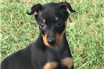 Picture of Hunter~ ears to be cropped! **Flight INC in price