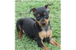 Picture of Sweet Penny~ ears cropped!~ **Flight INC in price