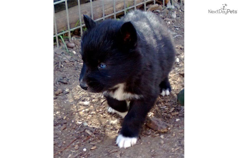 Wolf Hybrid puppy for sale near Dallas / Fort Worth, Texas ...