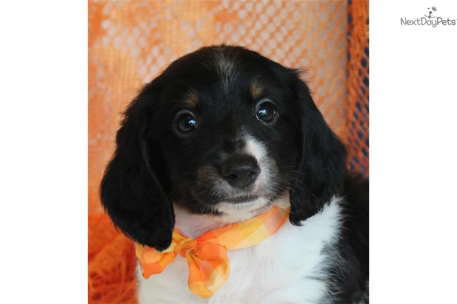 Miniature dachshund puppies for sale missouri