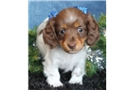 Picture of Macie Gorgeous Little Mini Dachshund Girl!