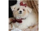 Picture of Gorgeous Tiny Laken Maltese Girl! Est. 5 lb Adult