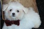 Picture of Tiny Charming Colt Maltese Boy! Est 5 lb adult