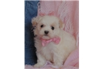 Picture of Kylee Adorable Little Maltipoo Girl!