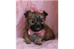 Picture of TinyToo Teacup Morkie Girl! Est. 3 # mature