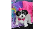 Picture of Sadie Pretty Little Morkie Girl!
