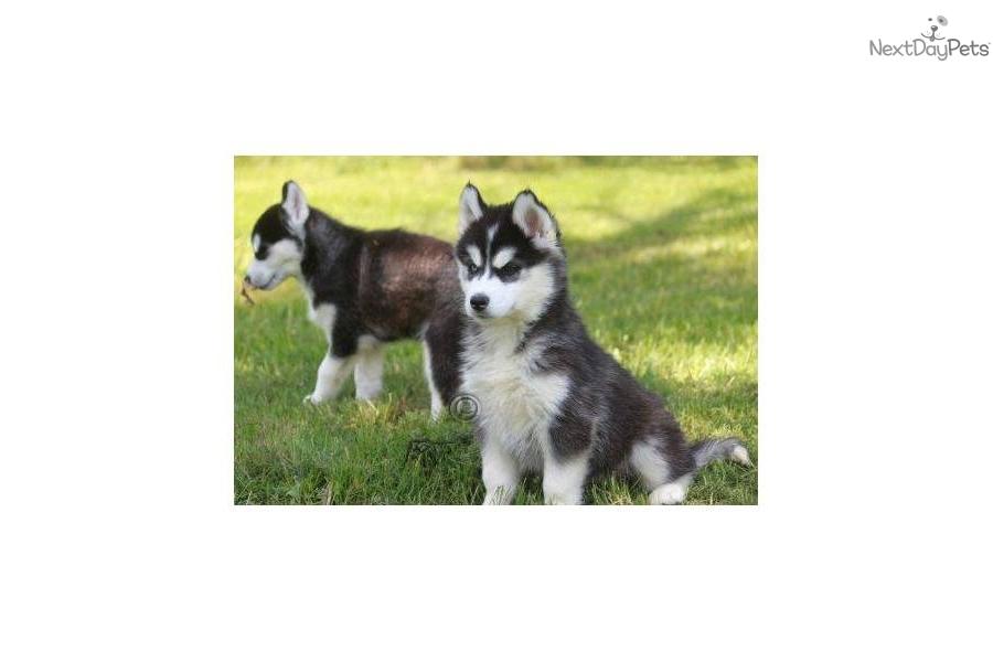 Husky Dog For Sale Mn