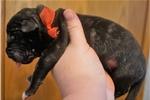 Mastiff for sale