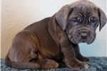 Picture of a Neapolitan Mastiff Puppy