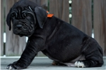 Picture of AKC Black Neapolitan Mastiff Puppy Available.
