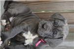 Picture of AKC Blue Neapolitan Mastiff Puppy Available.