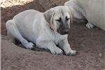 Picture of Livestock Guard Dog  Male