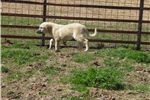 Picture of Livestock guard dog  female