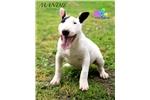 Picture of Mandie-AKC Bull Terrier