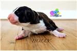 Picture of  Rhonda- AKC Bull Terrier