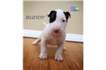 Buddy-AKC Bull Terrier | Puppy at 13 months of age for sale