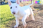 Picture of Ana- AKC Bull Terrier-Free Shipping!