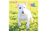 Ana- AKC Bull Terrier-Free Shipping! | Puppy at 17 weeks of age for sale