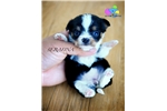 Serafina-  Tri Teacup Chi-poo | Puppy at 29 weeks of age for sale