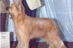 Picture of a Briard Puppy