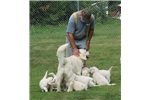 Picture of HeartsofGold Retrievers -Breeder of English Creams