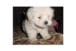 Picture of a Lhasapoo Puppy