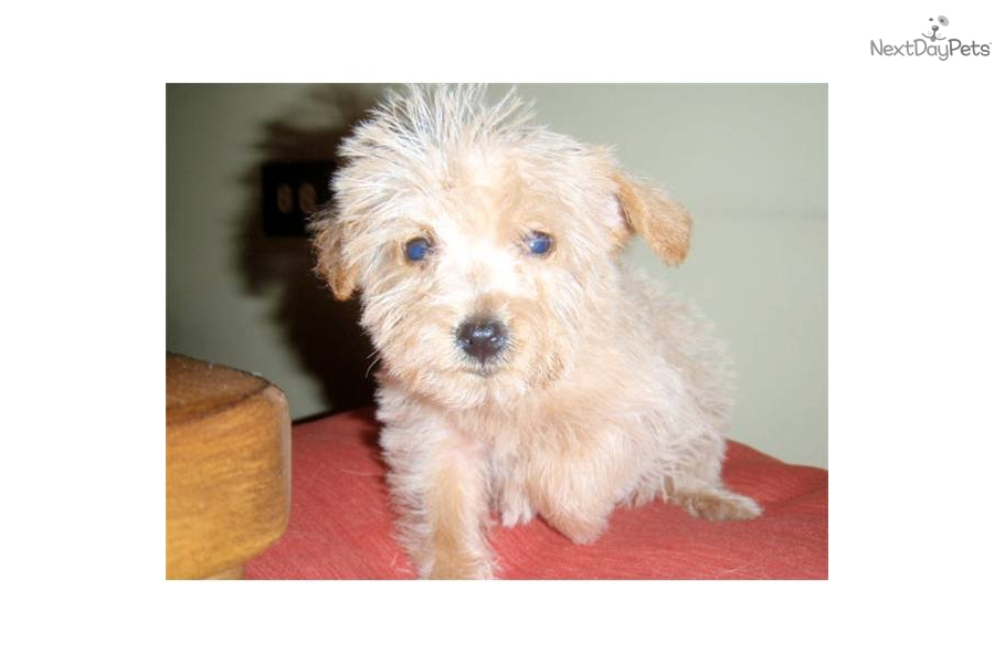 Westie Dogs For Sale In Wisconsin