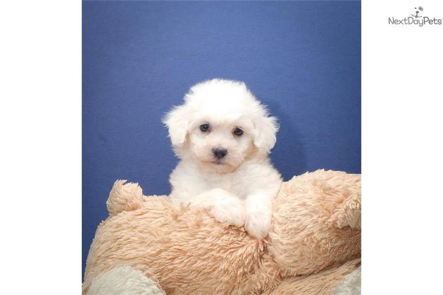 Bichon Frise puppy for sale near Columbus, Ohio | 576beb77-c821