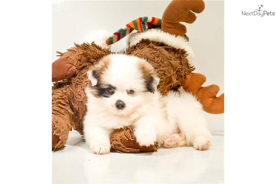 Pictures Of Tea Cup Non Shedding Dogs Dog Breeds Picture   Dog Breeds ...