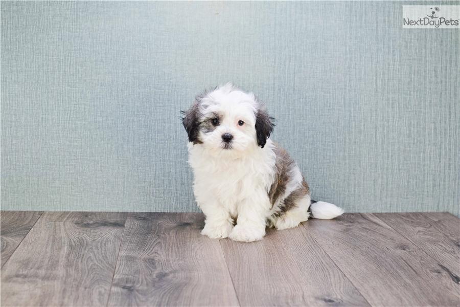 Havanese Dog For Sale Bc
